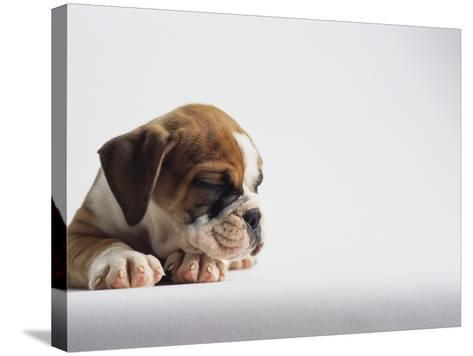 Bulldog Puppy-Jim Craigmyle-Stretched Canvas Print