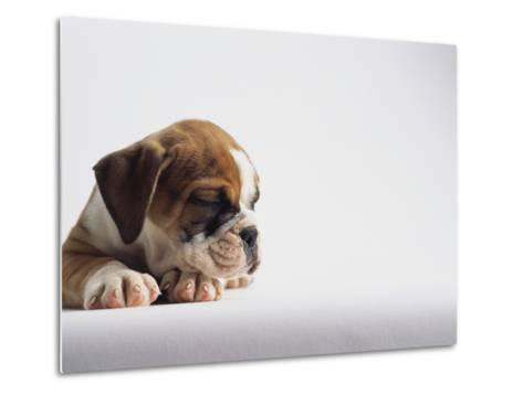 Bulldog Puppy-Jim Craigmyle-Metal Print