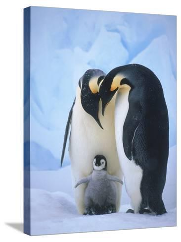 Emperor Penguins with Chick-Tim Davis-Stretched Canvas Print
