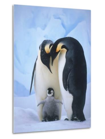 Emperor Penguins with Chick-Tim Davis-Metal Print