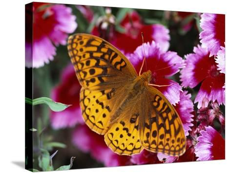 Butterfly Landing on Flowers-Ralph Morsch-Stretched Canvas Print