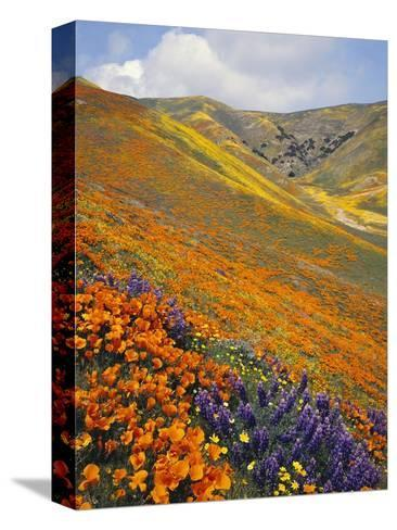 Hillside Wildflowers in Bloom-Craig Tuttle-Stretched Canvas Print