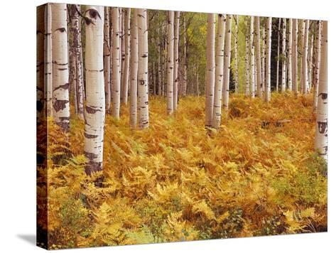 Aspen Forest in Golden Colored Ferns-William Manning-Stretched Canvas Print
