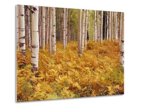 Aspen Forest in Golden Colored Ferns-William Manning-Metal Print
