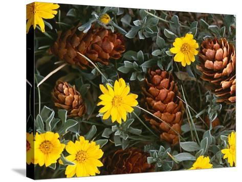 Arrangement of Flowers and Pine Cones-William Manning-Stretched Canvas Print