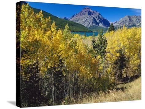 Autumn Trees in Glacier National Park-Craig Tuttle-Stretched Canvas Print