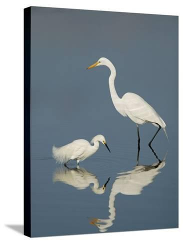 Snowy and Great Egrets-Arthur Morris-Stretched Canvas Print