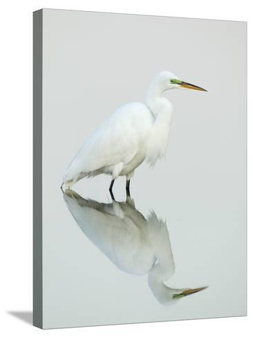 Great Egret Reflected-Arthur Morris-Stretched Canvas Print