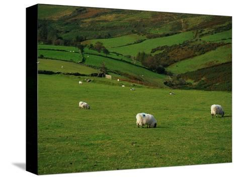 Sheep and Stone Walls in Green Pastures-Richard Cummins-Stretched Canvas Print