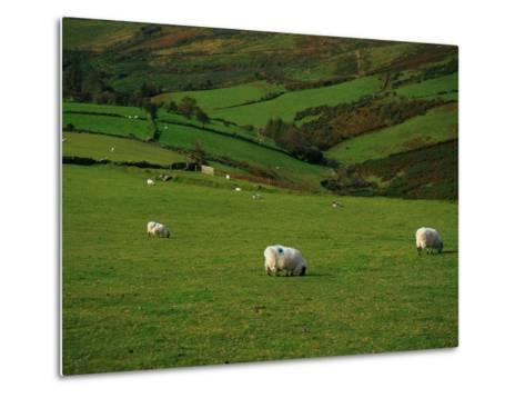 Sheep and Stone Walls in Green Pastures-Richard Cummins-Metal Print