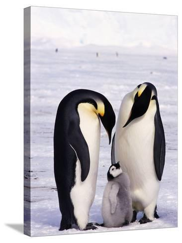 Emperor Penguins with Chick--Stretched Canvas Print