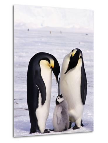 Emperor Penguins with Chick--Metal Print