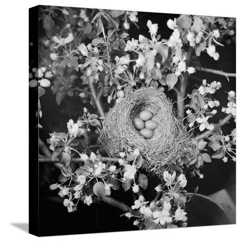 View of Robins Nest with Four Eggs-Bettmann-Stretched Canvas Print