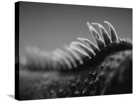 Back of an Iguana-Henry Horenstein-Stretched Canvas Print