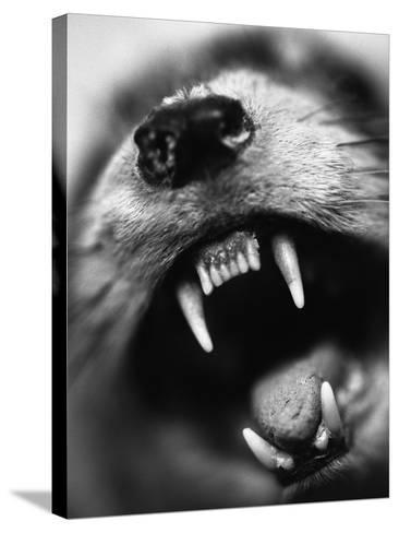 Snarling Dog-Henry Horenstein-Stretched Canvas Print