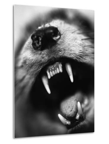 Snarling Dog-Henry Horenstein-Metal Print