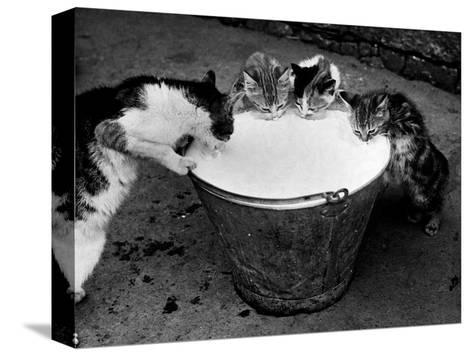 Kittens Slurping from a Pail of Milk--Stretched Canvas Print