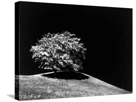 Lone Tree in Sunlight--Stretched Canvas Print