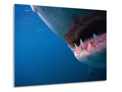 Mouth of Great White Shark-Stuart Westmorland-Metal Print