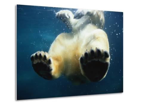 Paws of a Floating Polar Bear-Stuart Westmorland-Metal Print