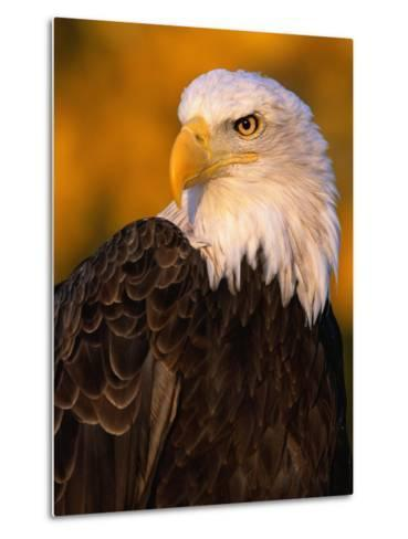 Bald Eagle-W^ Perry Conway-Metal Print