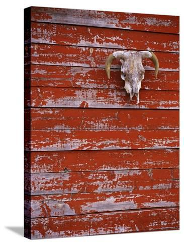 Steer Skull Hanging on a Barn Wall-Stuart Westmorland-Stretched Canvas Print