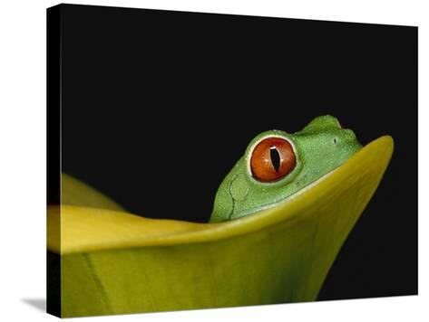 Red-Eyed Tree Frog-David Northcott-Stretched Canvas Print