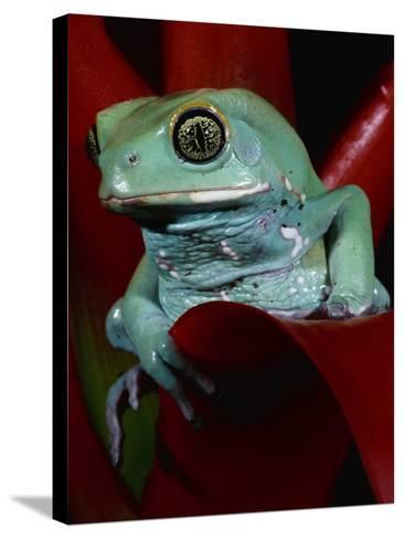 Monkey Tree Frog-David Northcott-Stretched Canvas Print