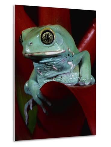Monkey Tree Frog-David Northcott-Metal Print