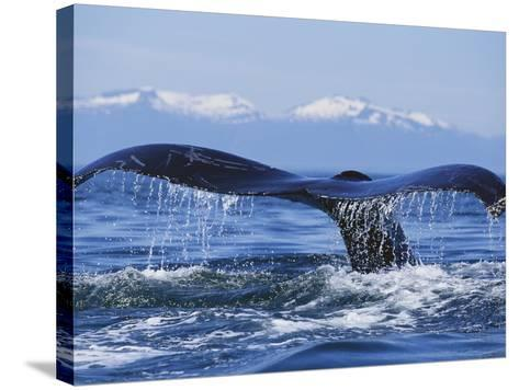 Tail of Surfacing Humpback Whale-Paul Souders-Stretched Canvas Print