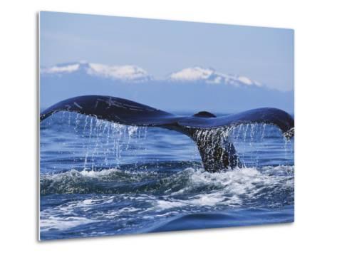 Tail of Surfacing Humpback Whale-Paul Souders-Metal Print