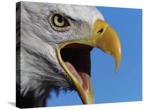 Bald Eagle Calling-W^ Perry Conway-Stretched Canvas Print