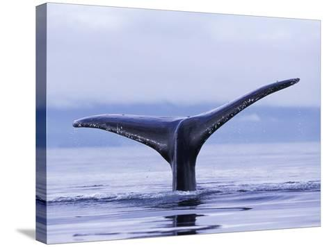 Tail Fin of Humpback Whale Sounding in Frederick Sound-Paul Souders-Stretched Canvas Print
