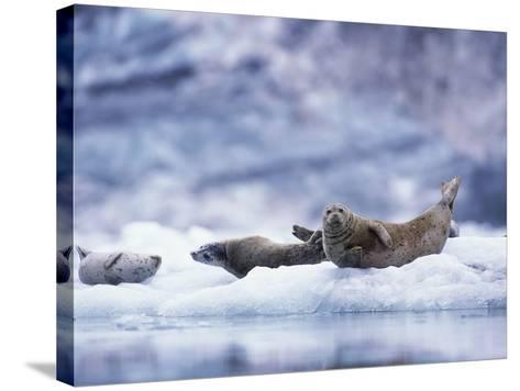 Harbor Seals on Iceberg in Glacier Bay National Park-Paul Souders-Stretched Canvas Print