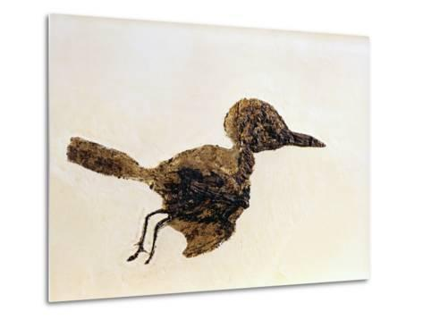 Fossil of Small Bird from Messel Site-Jonathan Blair-Metal Print