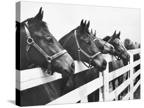 Horses Looking Over Fence at Alfred Vanderbilt's Farm-Jerry Cooke-Stretched Canvas Print