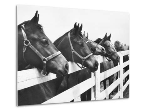 Horses Looking Over Fence at Alfred Vanderbilt's Farm-Jerry Cooke-Metal Print