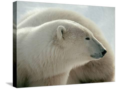 Polar Bear-George Lepp-Stretched Canvas Print
