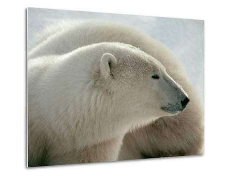 Polar Bear-George Lepp-Metal Print