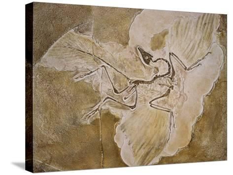 Archaeopteryx Lithographica Fossil-Naturfoto Honal-Stretched Canvas Print