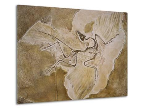 Archaeopteryx Lithographica Fossil-Naturfoto Honal-Metal Print