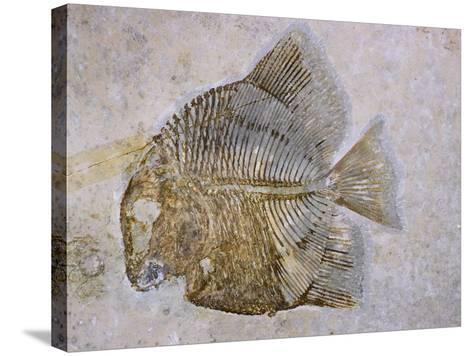 Macromesodon Macropterus Fish Fossil-Naturfoto Honal-Stretched Canvas Print
