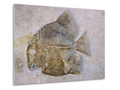 Macromesodon Macropterus Fish Fossil-Naturfoto Honal-Metal Print
