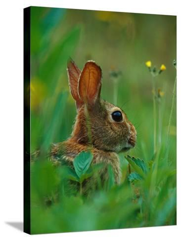 Cottontail Rabbit in the Grass-Joe McDonald-Stretched Canvas Print