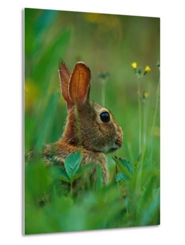 Cottontail Rabbit in the Grass-Joe McDonald-Metal Print