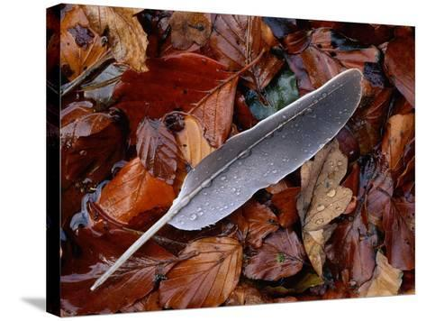Wood Pigeon Feather Amongst Fallen Leaves-Niall Benvie-Stretched Canvas Print