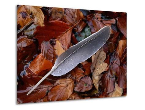 Wood Pigeon Feather Amongst Fallen Leaves-Niall Benvie-Metal Print