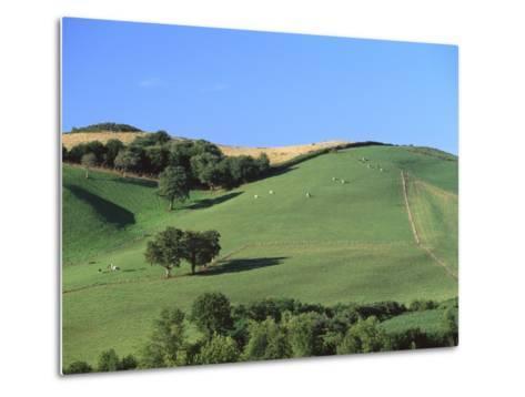 Cattle Grazing on Hillside-Owen Franken-Metal Print