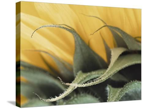 Sunflower Detail--Stretched Canvas Print