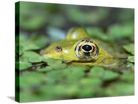 Edible Frog--Stretched Canvas Print